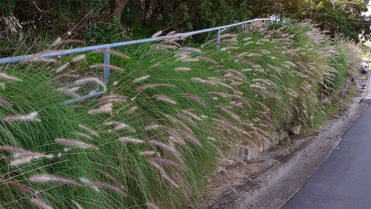 Pennisetum setaceum - Fountain Grass