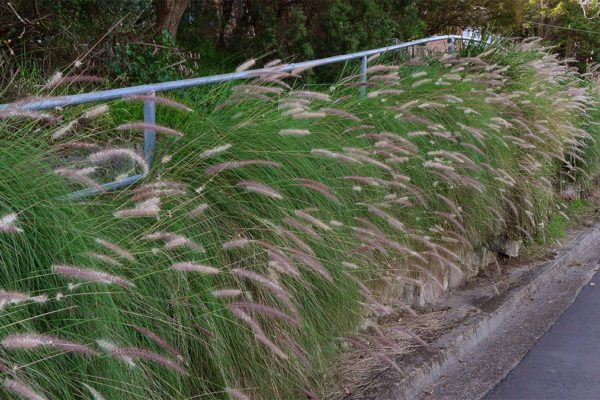 Pennisetum setaceum - Fountain Grass