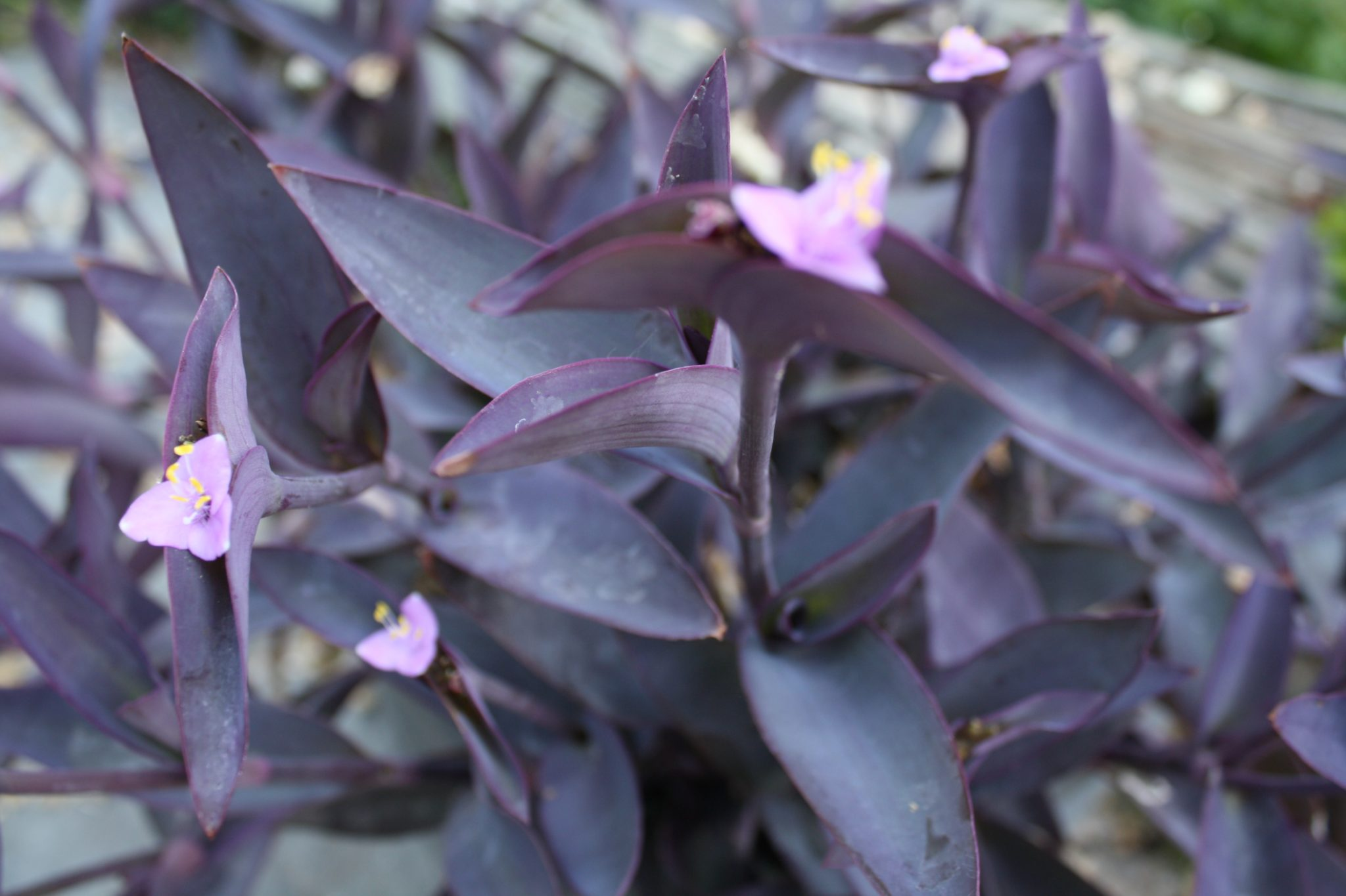 Plant Of The Month Purple Heart