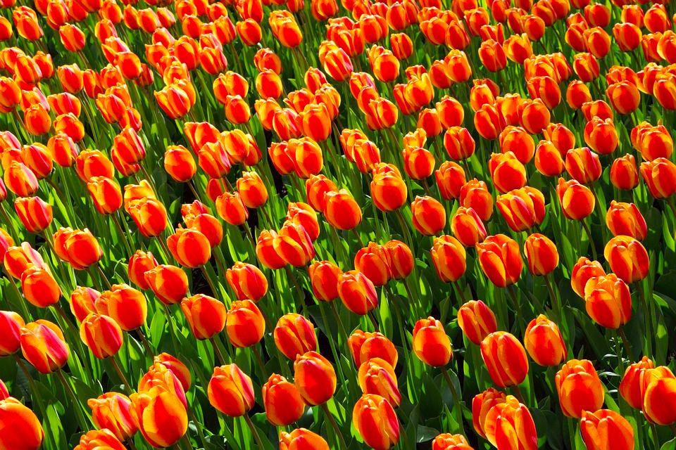 Tulip Cruise